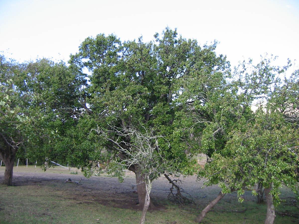 Sorell-Pear-Trees-1